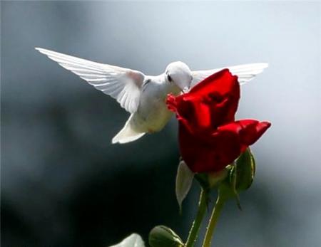 Ruby-Throat Albino hummingbird
