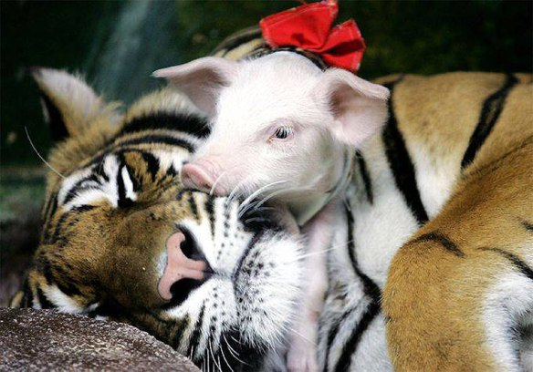 Tiger and pig - love at first sight everlasting