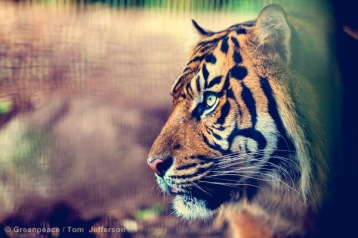 Sumatran tiger | Melbourne zoo |Indonesia
