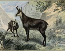 Goat Chamois print