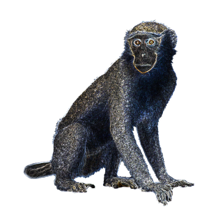 Night Star Monkey