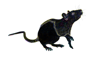 Night Star Rat