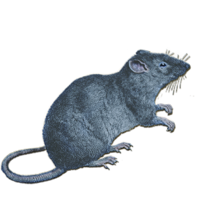 My_Zodiac_Rat